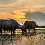 Büffel: Fleisch und Käse im Aufwärtstrend