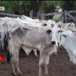 Rinder sterben anscheinend wegen Sojaplantage