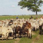 Raffinierter Grundstücksbetrug und Rinderdiebstahl im Chaco