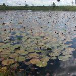 Lotusblumen sorgen für beeindruckendes Naturschauspiel