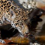 Das Gebiet der Raubkatzen im Chaco erfasst