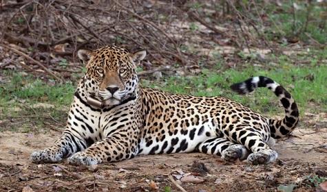 Was zu tun ist, wenn ein Jaguar auftaucht