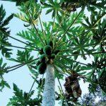 Anstatt Paracetamol bei Dengue Blätter vom Papayabaum verwenden