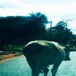 Schwerverletzter in Independencia wegen freilaufender Rinder