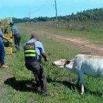Im Einsatz gegen freilaufende Rinder