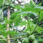 Dengue: Facharzt warnt vor der Verwendung der Papaya-Blätter