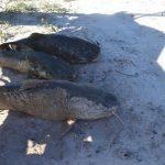 Massives Fischsterben im Chaco