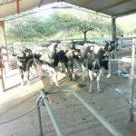 Im Chaco muss Milch weggeschüttet werden
