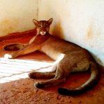 Warnung vor einem Puma