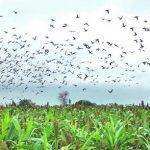 Hohe Gebühren und Bürokratie entmutigen den Tourismus bei der Taubenjagd