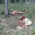 Während der Totenwache zwei Rinder geschlachtet