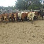 Rinder auf einer Estancia im Chaco gestohlen