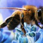 Bienen, die Wächter des globalen Ökosystems, sind in Gefahr