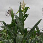 Deutsche Kolonisten, Ukrainer und Russen sollen Getreideproduktion im Chaco verdreifachen