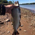 Reproduktion von Paraná-Lachsen erfolgreich abgeschlossen