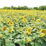 """Der Markt ist der """"Schuldige"""", dass Sonnenblumen verschwinden"""