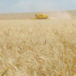 Export von Weizen bricht um 85% ein
