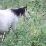 Paraguay, wo Pferde anstatt Gräser Marihuana fressen