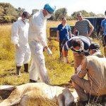 Tollwut bei Rindern in Guairá registriert