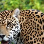 Jaguar in Yatyay gesichtet