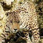 Seam kann den Jaguar nicht einfangen