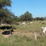 Viehzüchter im Chaco resigniert vor der Bürokratie