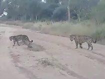Paraguay: Jaguar-Pärchen im Cerro León gefilmt