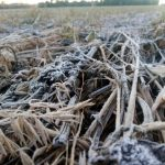 400.000 ha Weizen durch Frost gefährdet