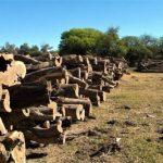 Palo Santo: Die Vermarktung vom grünen Gold aus dem Chaco