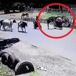 Paraguay: Kampfsportunterricht für Kühe zahlt sich aus
