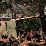 Schatten des Todes: Schlachthöfe im Wohngebiet
