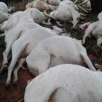 Blitz erschlägt mehr als 50 Rinder
