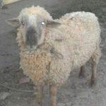 Des Hirten Not, des Schafes Tod