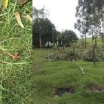 Eukalyptusbaum geschnitten: 8-Jähriger stirbt an Stromschlag