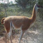 Chaco: Rund 50 Vertreter einer Kamelfamilie beheimatet