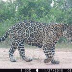 Chaco: Das Zuhause der größten Wildkatzen Lateinamerikas