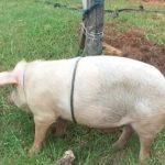 Schießerei mit Schweinedieben und Bestechungsversuch der Polizei