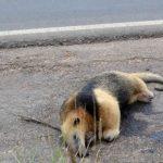 Ameisenbären: Opfer vom Hochwasser und Fahrzeugen