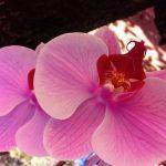 Der Durchbruch: Forstingenieur klont Orchidee