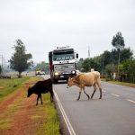 Schlaglöcher und freilaufende Rinder