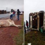 Schwerer Unfall wegen freilaufenden Rindes