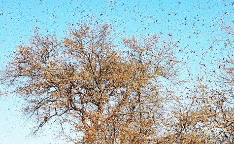 Riesige Heuschrecken-Schwärme suchen den Norden des Landes heim