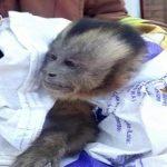 Affe stiehlt Damenunterwäsche
