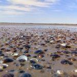 Muschelplage könnte Energieversorgung beeinträchtigen