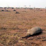 Verbrannte Wälder, Weiden und tote Tiere