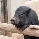 Ein schwarzes Schwein wird vermisst