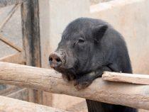Schweinepest in Brandenburg: Paraguay verhängt ebenso Importverbot