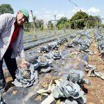 Kohl und Salat leiden unter der Hitze