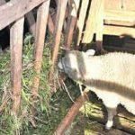 Schafzucht: Eine rentable Option