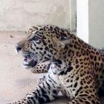 Jaguar soll Nachzucht sichern